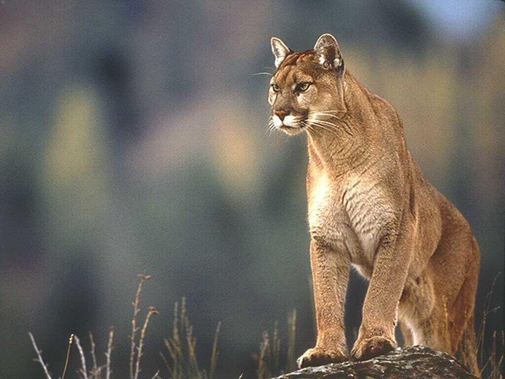 le cougar de l 39 est est une sous esp ce officiellement disparue. Black Bedroom Furniture Sets. Home Design Ideas