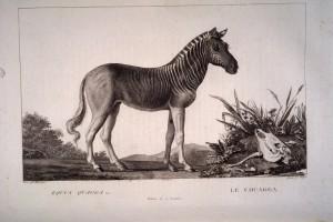 gravues_animaux_sauvages_-_Equus_quagga_Lin__Le_couagga