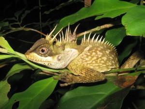 photo-en-date-du-15-septembre-2014-fournie-le-19-decembre-2016-par-wwf-d-un-lezard-figurant-parmi-163-nouvelles-especes-decouvertes-en-2015-en-thail