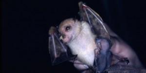 La-chauve-souris-Yoda-officiellement-reconnue-comme-une-nouvelle-espece