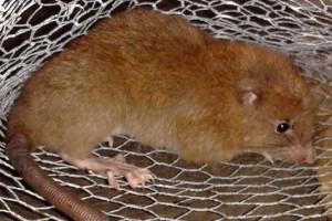 Le spécimen blessé d'« Uromys vika » trouvé aux îles Salomon. Courtesy of Tyrone Lavery