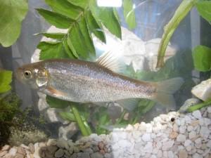 Pseudophoxinus libani