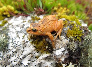 Hill-Dweller-Rubber-Frog-Pictures-courtesy-of-Rudolf-von-May-University-of-Michigan