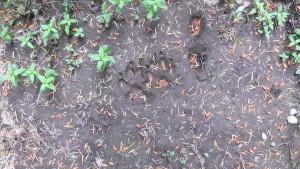 Empreintes de loup (Photo. E. JOYE)